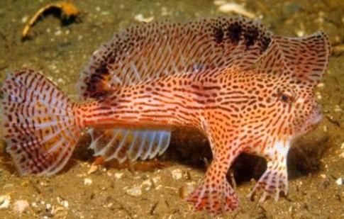 Descubren 11 especies de peces con capacidad para caminar en tierra