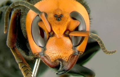 Descubren en Estados Unidos nido de los avispones gigantes