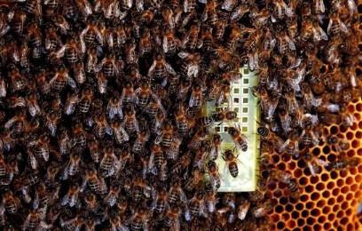 Investigadores estadounidenses desarrollan Miel sin abejas