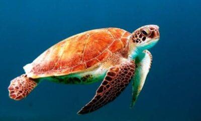 Cammy la tortuga es puesta a dieta tra, engordar en la cuarentena