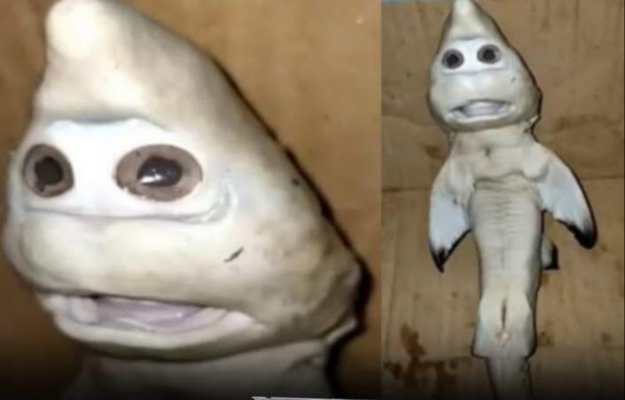 """Pescan en Indonesia un tiburón mutante con """"rostro humano"""""""