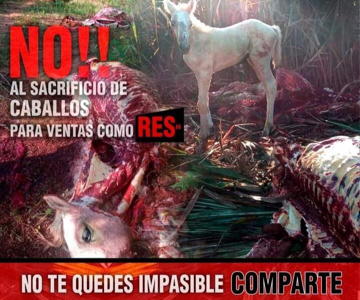 Caballos son sacrificado para venden su carne como si fuera de res